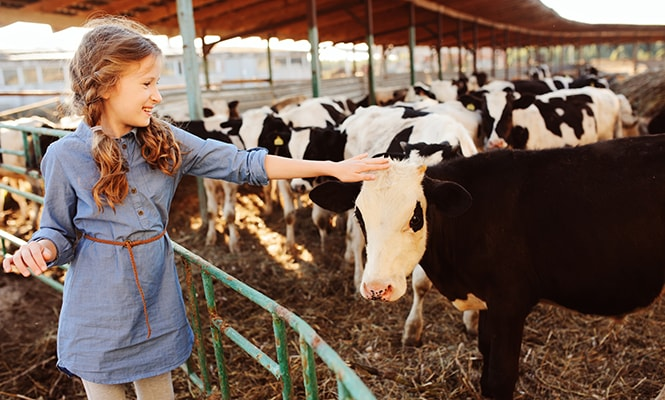 Young girl feeding cow on farm
